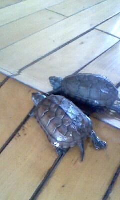 我家养了小乌龟 动若脱菟 搜狐博客