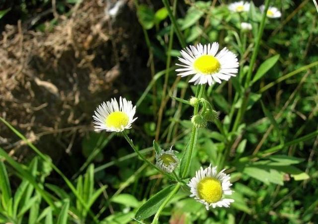 盛开的雏菊 盛开的月季花简笔画 雏菊 白色婚礼