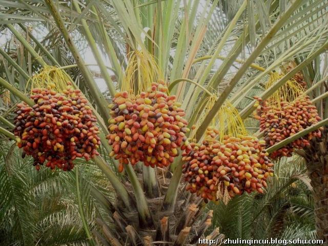 关于椰枣树的资料和记忆
