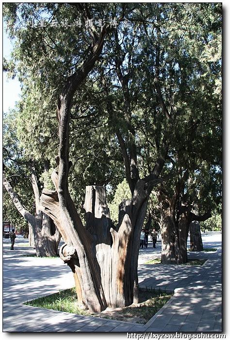墓地种柏树规矩